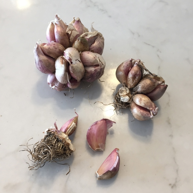 Garlic heads and cloves from last seasons harvest