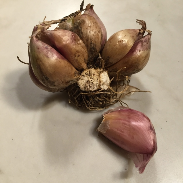 Garlic head showing the dried woody stem and roots at the base.  The woody end of each clove must be planted downward so roots can easily form