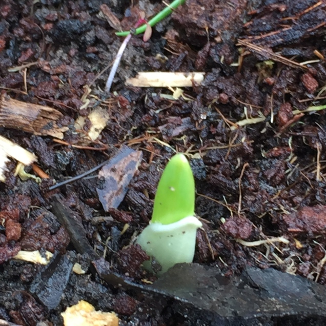 The first garlic sprout shooting up through the damp earth