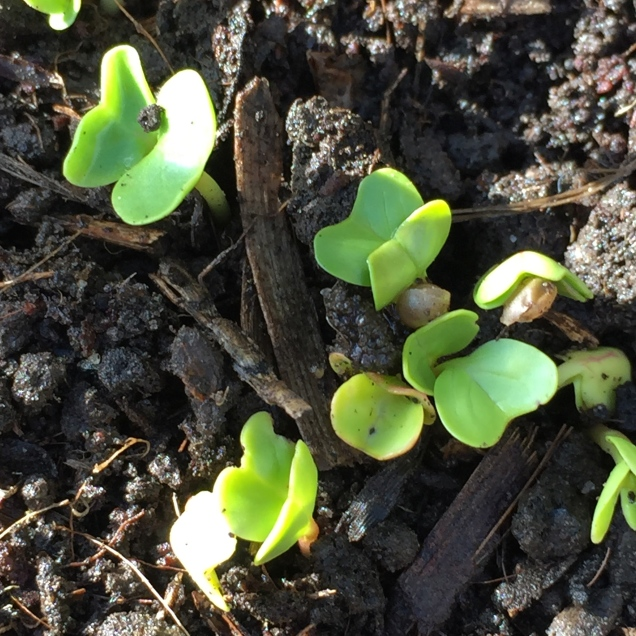 The first leaves of radish showing after only five days after sowing