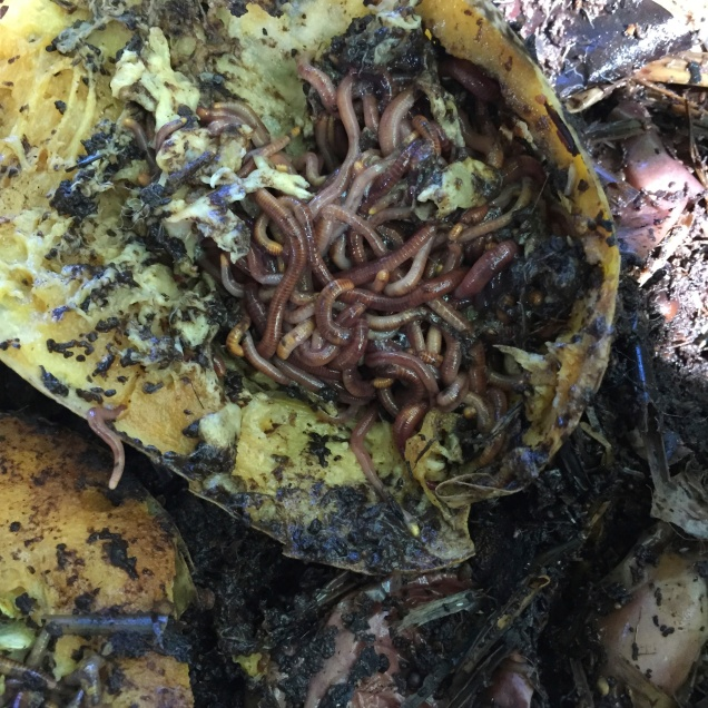 Worms massing on a zucchini feeding frenzy. Oversized zucchini were cut in half and placed flesh side down in the worm farm. Within 10 days the worms were digesting the pithy flesh and within 3 weeks all that was left was a papery skin.