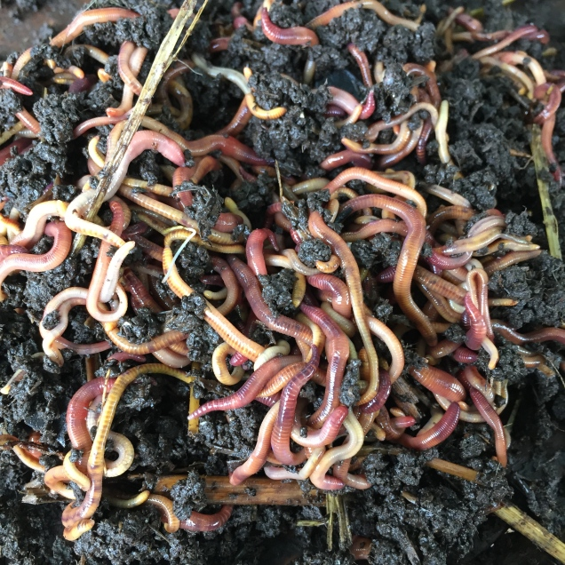Deep in the heart of the worm farm the wriggling mass of worms congregate and mass feed on their favourite food