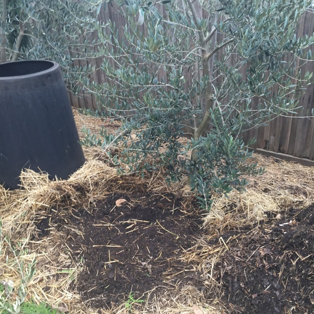 A new composting process about to be started, the soil has been gently forked and paper will be spread before placing the composting container into place. The straw mulch surrounding the trees helps keep moisture in the ground and micro organisms active.