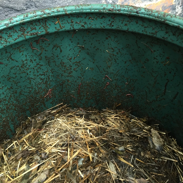 Inside a compost bin, the signs of worms at work with the castings on the surface of the bin, the straw helps keep the mix moist and controls pest flies on the top of the mix.